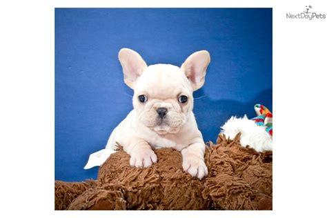 affordable bulldog puppies bulldog puppies wallpaper