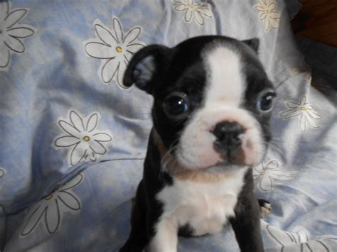 boston terrier puppies for sale in illinois boston terrier picture 2014 breeds picture
