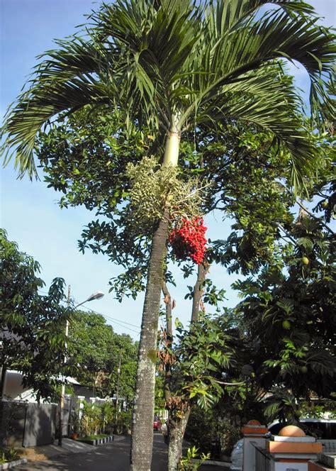 Jual Bibit Cabe Banjarmasin bibit tanaman murah jual pohon palem di banjarmasin