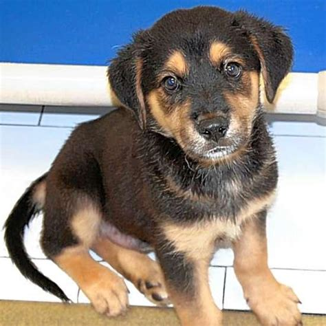 german shepherd dachshund mix puppies adoptable pets meet ralphie the dachshund mix and eclaire the tabby metro journals
