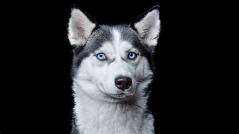 puppy sparks husky photo sparks outrage should coated dogs be today