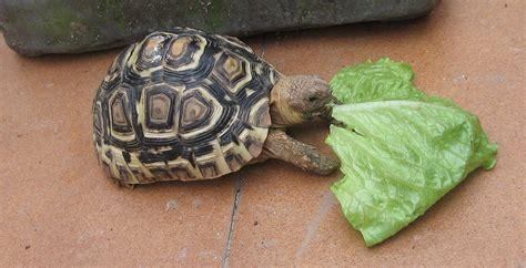 imagenes de tortugas raras alimentaci 243 n de tortugas terrestres herb 237 voras c 243 mo le