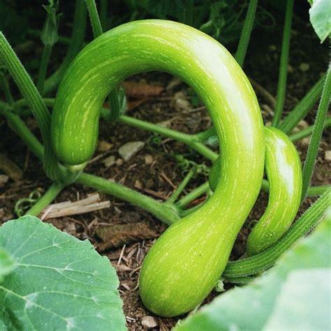 come cucinare zucchine zucchine trombetta coltivazione propriet 224 e ricetta