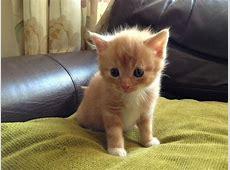 SHORTHAIRED MALE GINGER/CREAM KITTEN FOR SALE | Aldershot ... Kittens For Sale