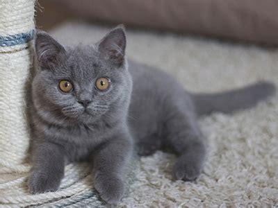 top 275 grey cat names popular name for your grey cat