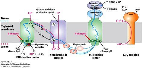 light reaction diagram photosynthesis diagram light reactions www pixshark