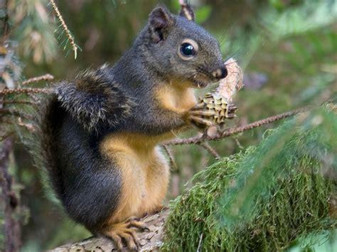 douglas squirrel willapa u s fish and wildlife service