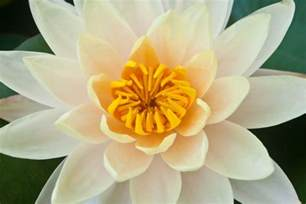 Meaning The Lotus Flower Interesting Facts About Lotus Flower Meaning Idolbin