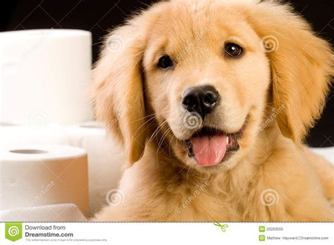 free golden retriever puppies louisiana golden retriever puppies wallpaper