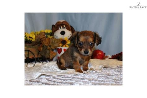 chiweenie puppies for free meet cheenie a chihuahua puppy for sale for 500 cheenie the chiweenie