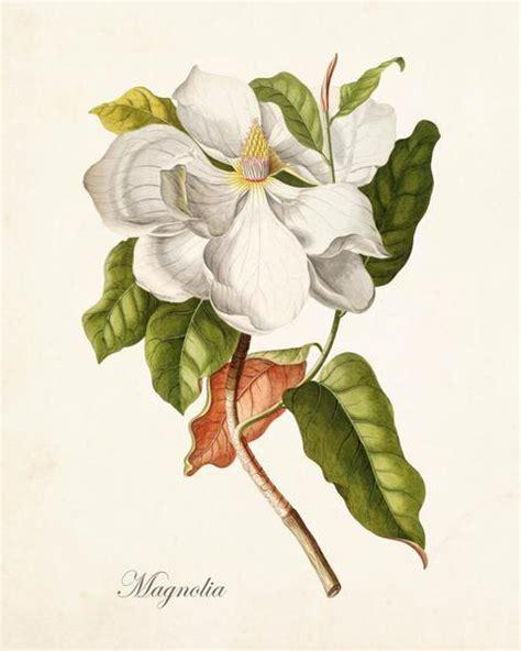 printable magnolia flowers antique magnolia botanical print no 1 bellebotanica