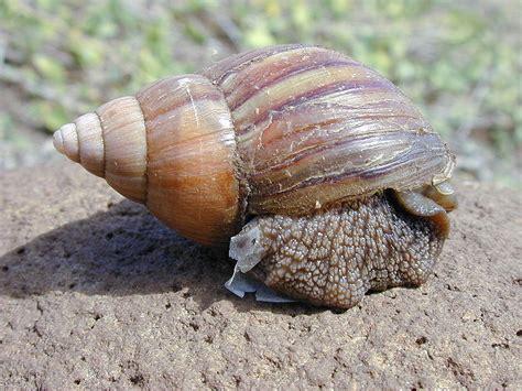 Giant African Land Snail | Animal Wildlife
