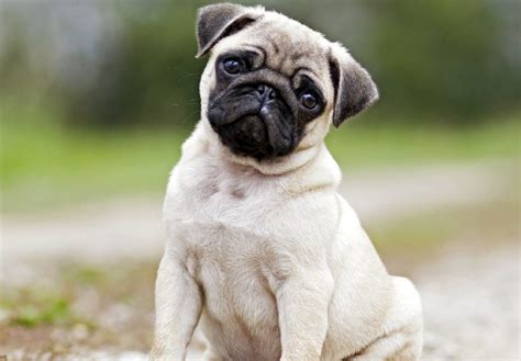 how much do pugs cost pugs the breed guide thehappypooch