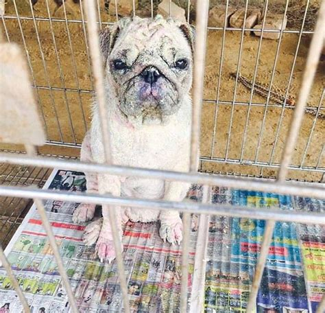 pug vet bills delhi charity says expensive pugs are being abandoned this is money