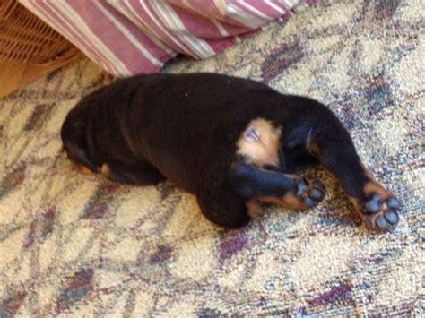 rottweiler age symptoms rottweiler bone cancer in dogs newhairstylesformen2014