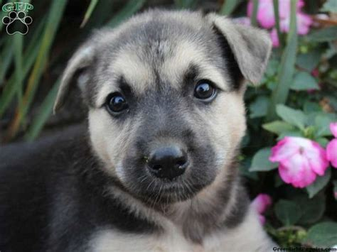 German Shepherd Husky Mix Puppies For Sale In Ohio Zoe Fans Baby Animals