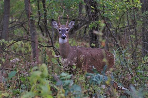 4 point buck deer small four point buck pics4learning