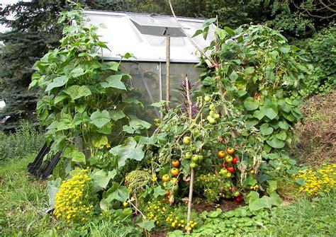 wann kann tomaten pflanzen gem 252 seanbau im treibhaus ganzj 228 hrig ohne heizung im