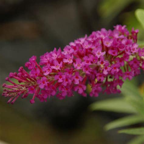 butterfly bush buzz magenta dwarf buddleia magenta blooms