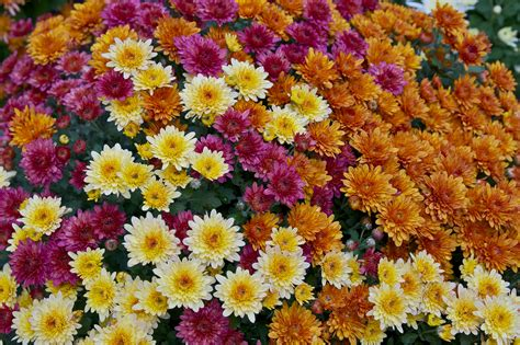 chrysanthemum colors horsedvm toxic plants for horses