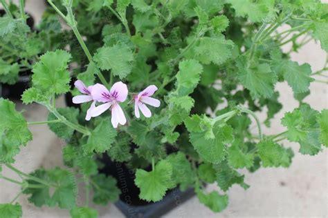 nervosum lime scented geranium