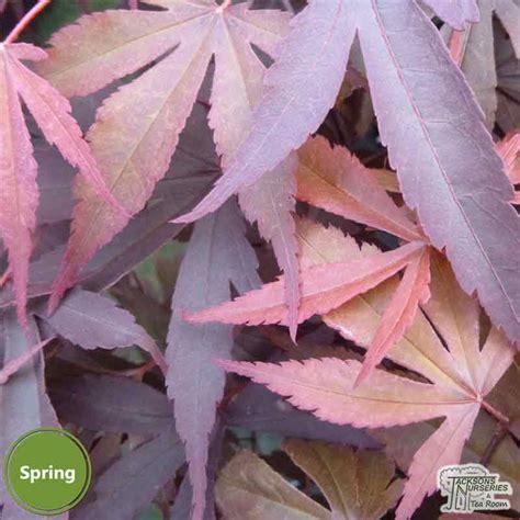 buy acer palmatum fireglow japanese maple   uk