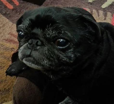 adoptable pugs adoptable pugs bluegrass pug rescue