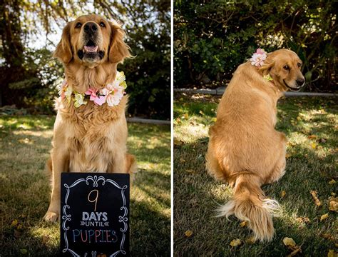 puppy photoshoot absolutely owns maternity photo shoot dogs lover