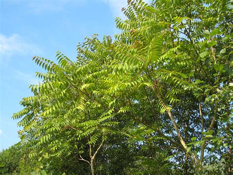 tree tree tree of heaven ailanthus altissima 171 chew valley trees