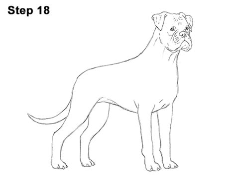 how to boxer dogs boxer drawing www imgkid the image kid has it