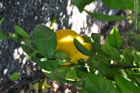 tree ripened fruit plantfiles pictures sour orange sanbokan grapefruit