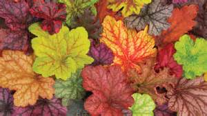 Colourful Foliage Plants - plants with colorful foliage the denver post grow section