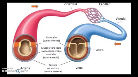 vasi sanguinei i vasi sanguigni e la circolazione