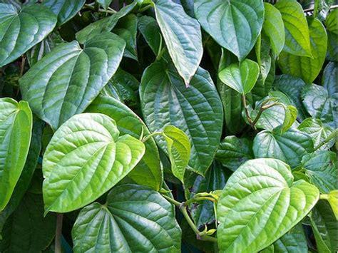 Tanaman Sirih Gading Kuning Pohon Sirih Gading Kuning 0895336476769 rambat jasa tukang pembuatan taman dan kolam
