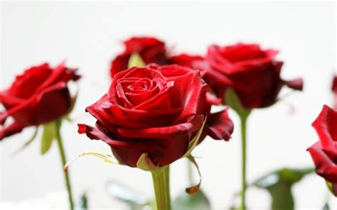 wallpaper hd red rose red roses wallpaper wallpaper wide hd