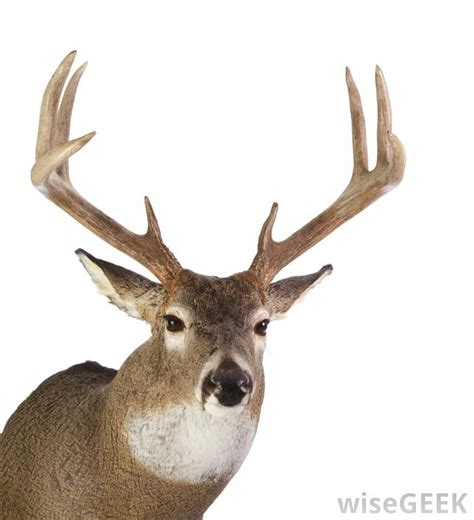 what is a buck what are the quot points quot on a buck with pictures
