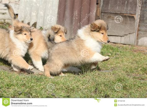 scotch collie puppies of scotch collie puppies running together stock photo image 37150720