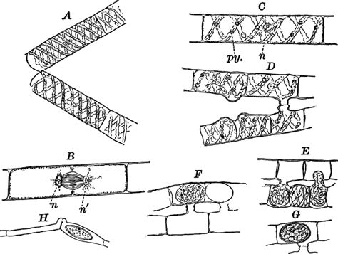 spirogyra reproduction diagram image gallery spirogyra anatomy