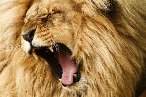lions roar the lion s roar facing your fears kathleen ann thompson