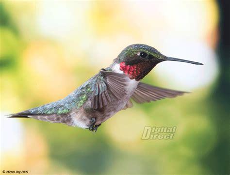 hummingbird animated flickr photo sharing