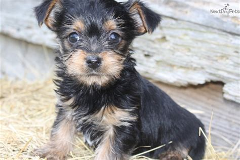 what to feed puppies at 6 weeks 6 week chorkie puppies chorkie puppy for sale near