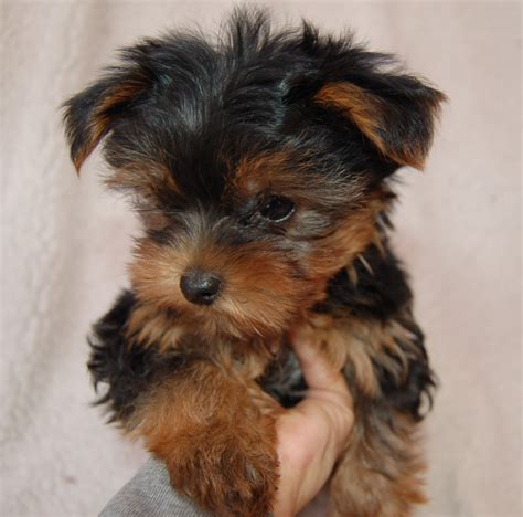 yorkie size pin grown teacup yorkie by henning on