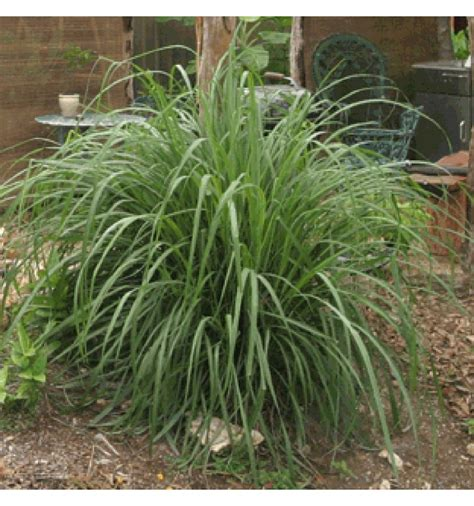 where to buy herb plants buy lemon grass cymbopogon citratus online plant nursery