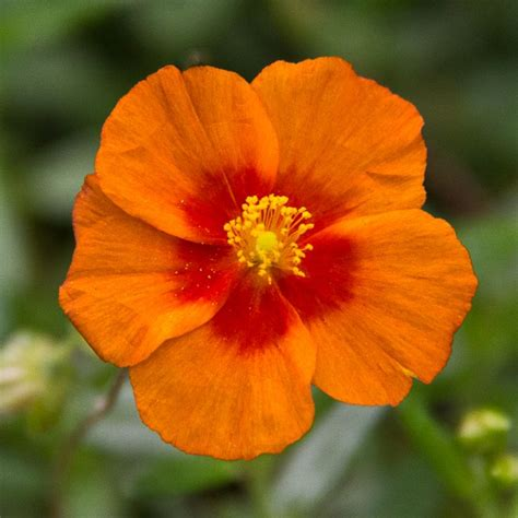 California Stats California State Flower Search Tattoos
