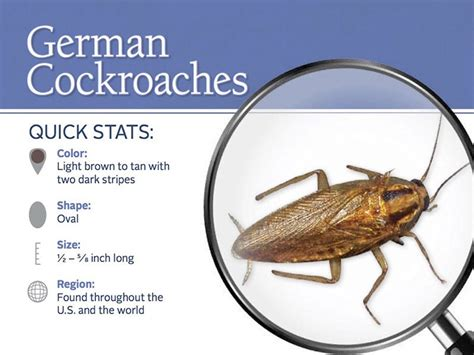 how to kill small cockroaches in kitchen 4 killer methods to get rid of german cockroaches which