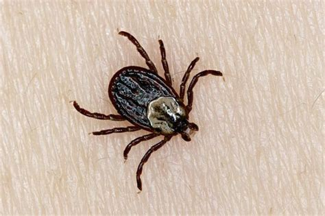 found tick in house deadly blood sucking tick found in richmond park and bushy park get west london