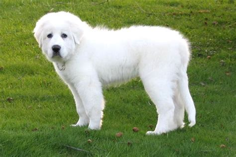 great pyrenees golden retriever puppies golden pyrenees golden retriever great pyrenees mix temperament pictures