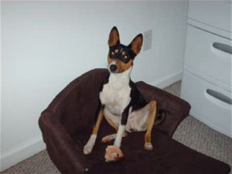 basenji puppies for sale in florida devils peaks basenjis breeds picture