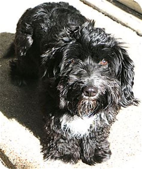 havanese rescue nj robbie adopted bedminster nj havanese tibetan terrier mix