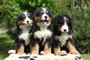 Bernese mountain dog puppies bernese mountain dog puppies for sale in